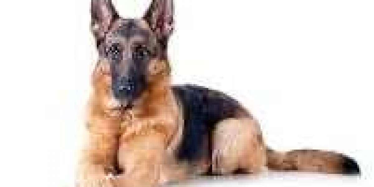 It has been suggested that German Sheperd Dog ( Alsatian or Deutscher Schaferhund) may be descendant of the Bronze Age w